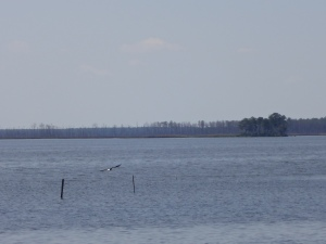 That's a bald eagle we spotted during our visit to Blackwater National Wildlife Refuge.
